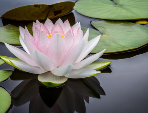 La métaphore du lotus, de la souffrance et du bonheur